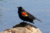 Gertrude - Red-winged Blackbird in Prospect Park